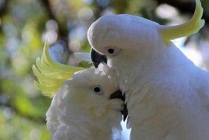 Două cockatoo