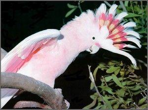 Descrierea roz-Cockatoo