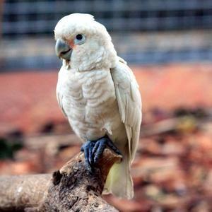 Tanimbar Cockatoo Descriere
