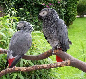 Descrierea fripturii de papagal