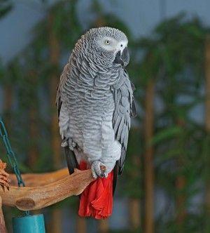 Descrierea exteriorului papagalului este fierbinte