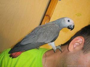 Cum să ții un papagal fierbinte