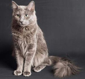 Rasă de pisici nibelung și caracteristicile sale
