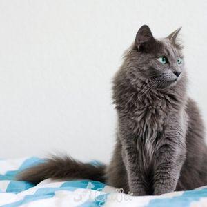 Cum să păstreze o pisică nibelung