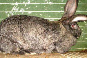 Boli ale iepurilor