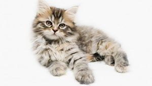 Greutate Maine Coon