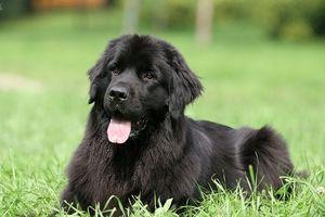 Cum să cumperi un câine Newfoundland