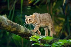 Specii de rase de pisici salbatice