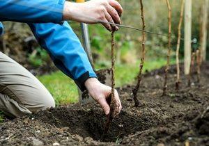 Plantarea pomilor fructiferi în primăvară și toamnă