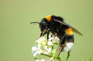Consecințele unei mușcături a unei bondari. Ce ar trebui să fac dacă aș mușca o bumblebee?