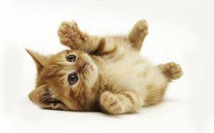 Învățați corect un pisoi sau cum să aduceți o pisică inteligentă