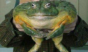 Frog de vis