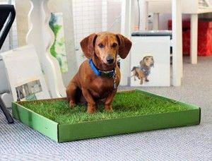 Antrenăm câinii în tavă în condițiile apartamentului