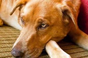 Semnele care indică infecția câinelui cu viermi
