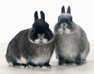 Îmbătrânirea iepurilor