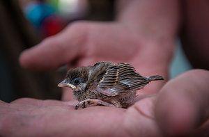 Aruncarea vrabii - ce să se hrănească și cum să se îngrijească