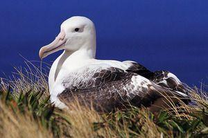 Bird din albatros. Cine sunt albatrosii rătăciți?