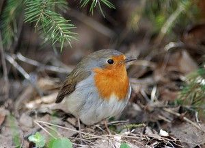 Bird robin: aspectul, trăsăturile și nutriția
