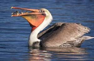 Bird pelican: un mod de viață, locuință, în cazul în care peștele este stivuit