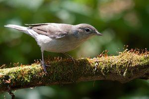Mătură de grădină de păsări: un mic solist al teatrului pădurilor