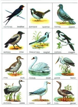 Centura de mijloc a Rusiei și păsările care o locuiesc
