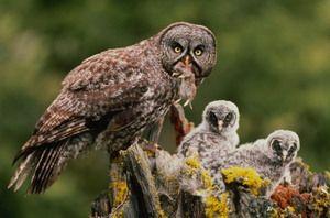 Păsări din echipă Owl în formă