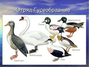 Păsări din grupul Anseriformes