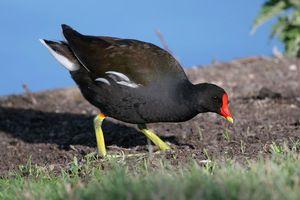 Păsări cu cioc galben