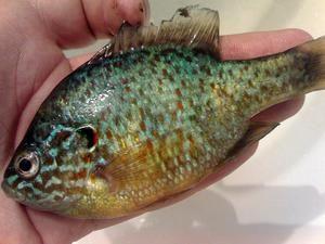 Curcubeu sau stinghie însorită: descriere, pescuit, fotografie, dacă este posibil să mănânci