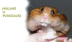 Afecțiuni comune ale hamsterilor Dzhungar