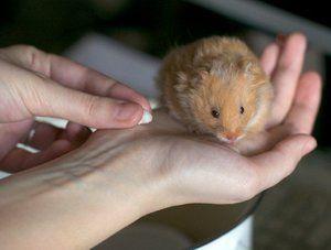 Simptomele bolii de hamster