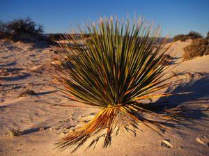 Plante care cresc în deșert