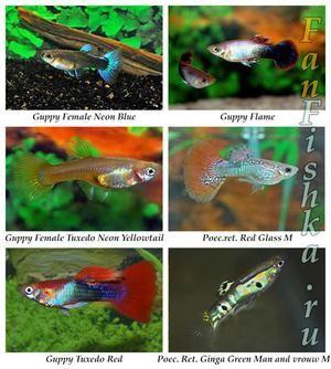 Guppy în întreținerea și îngrijirea acvariului