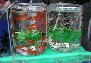 Guppy în acvariu