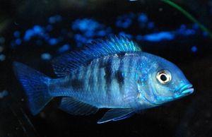 Blue Dolphin - pește frumos pentru acvariu