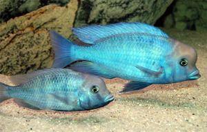 Cichlid sau delfin albastru - un pește frumos