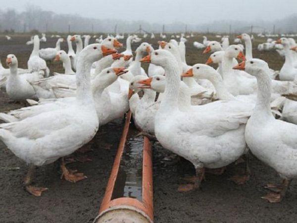 Ce să hrăniți gâștele acasă