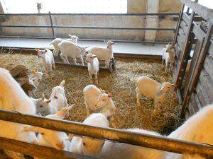 Creșterea și păstrarea caprinelor pentru începători
