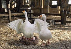Caracteristicile ouălor care se varsă de gâscă