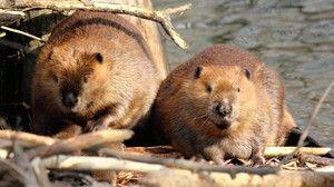 Râul și castorul european. Caracteristicile Beaver