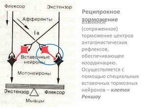 Inhibarea reciprocă a centrelor - mecanismul interacțiunii