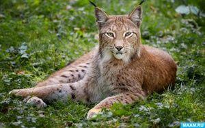 Animale rare din cartea roșie a Rusiei