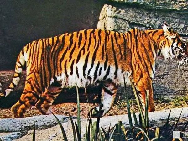 Tigrul transcaucazian pe un pirode
