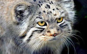 Manul - pisica
