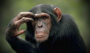 Chimpanzeii - cât de inteligenți sunt ei?