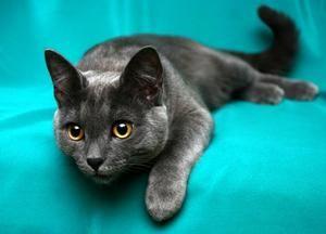 Cele mai inteligente pisici - care sunt rasele