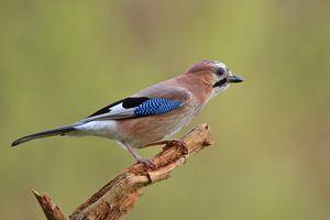 Jayul obișnuit este o pasăre inteligentă