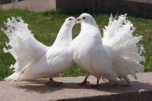 Porumbei Păunele sunt păsări inteligente