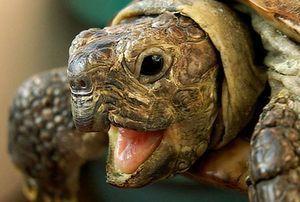 Turtle - caracteristici ale rasei