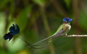 Păsări rare - minunat Spatelite